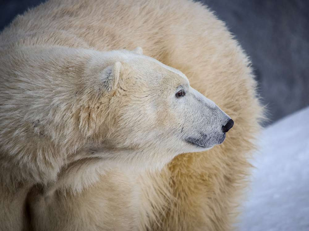 Project - Whiskerprint Technology to Individually Identify Polar Bears
