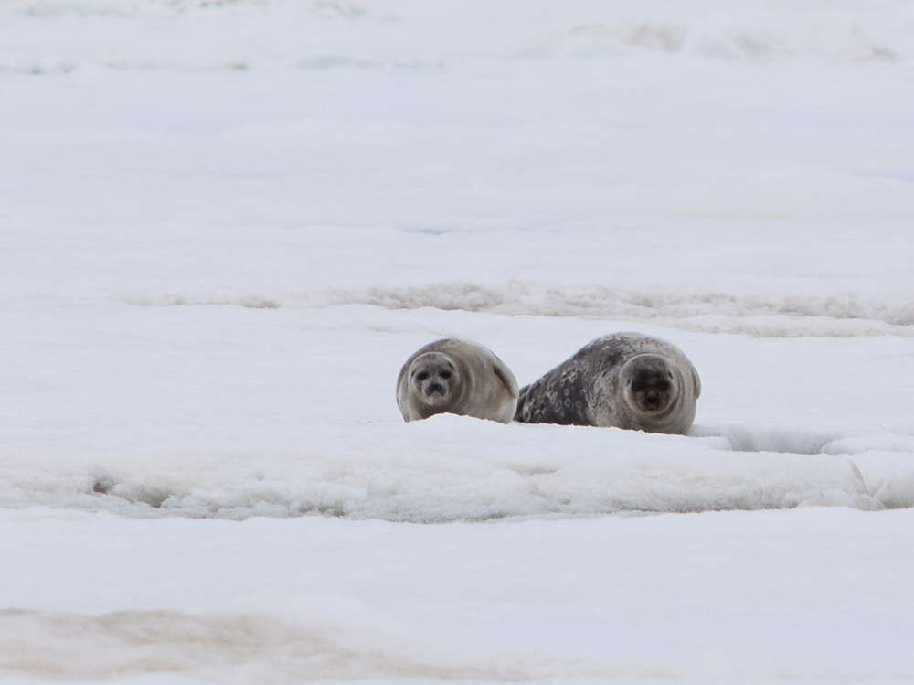 Project - How Seals are Adapting to a Changing Arctic